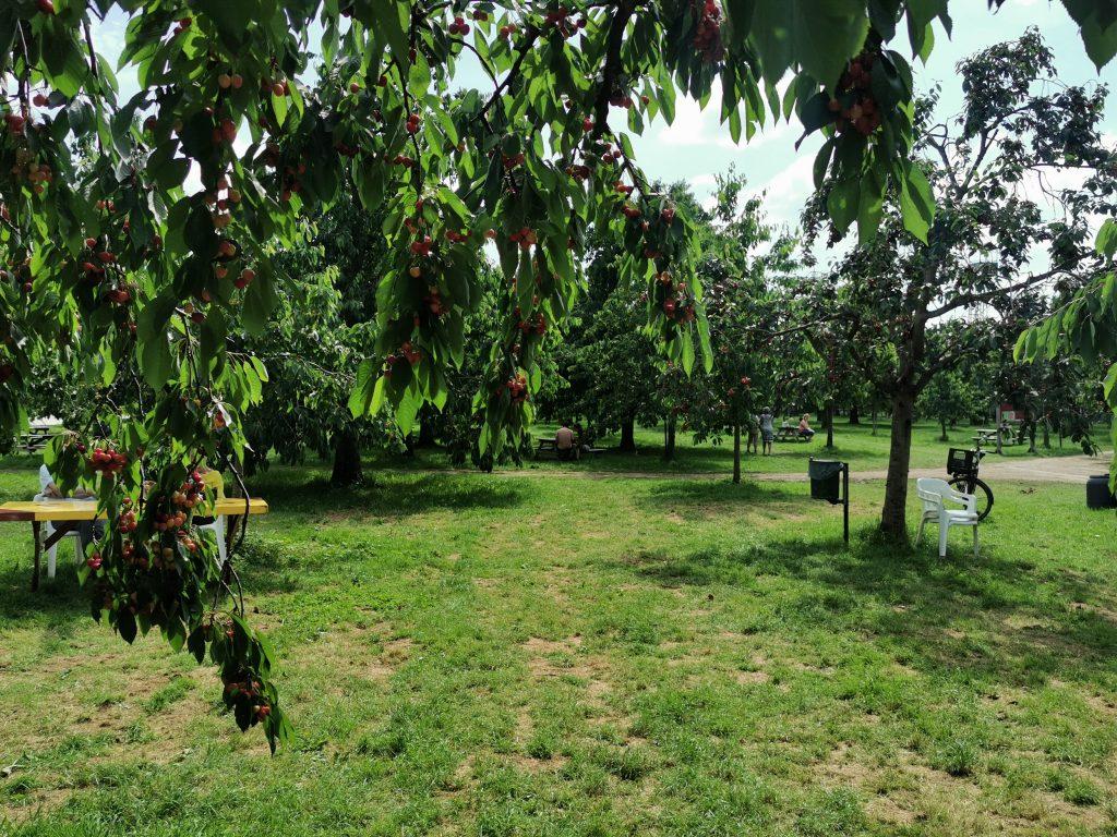Kersenhut Cothen 3 1024x768 - De Kersenhut in Cothen | keep calm and eat cherries